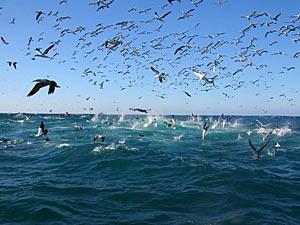 Sardine run - Zuid-Afrika