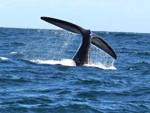 Walvissen in Hermanus - autorondreis Zuid Afrika