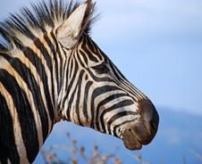 Zorgeloos zebra's spotten