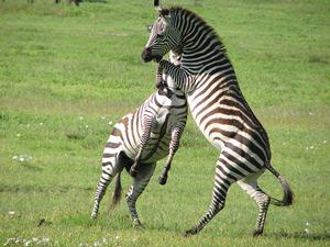 Spelende zebra's in Addo Park