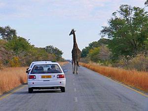 Zuid-Afrika - giraffe op weg