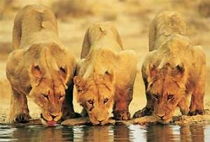 Zuid-Afrika vakantie: leeuwen