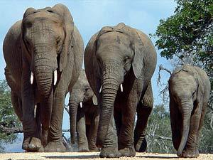 Zuid-Afrika reizen - Olifanten