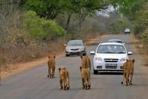 Leeuwen tijdens autovakantie Zuid Afrika