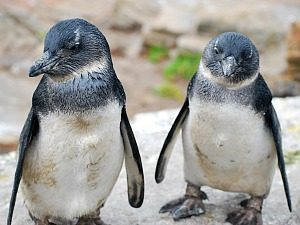 Pinguins-Lotte