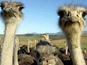 oudtshoorn-struisvogel
