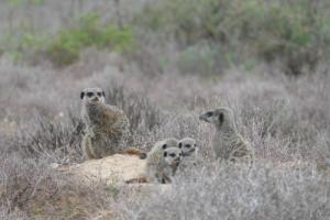 Stokstaartjes-safari Oudtshoorn 4