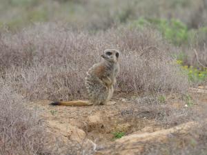 Stokstaartjes-safari Oudtshoorn1