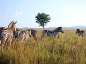 auto rondreis Zuid Afrika - zebra's Kruger