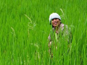 Reisbauer in Nord-Luzon bei der Arbeit