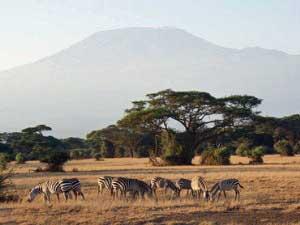 Zebras vor dem Kilimandscharo im Amboseli Nationalpark