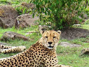 Leoparden in der Masai Mara hautnah erleben