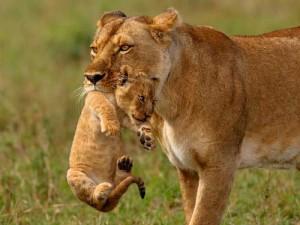 Löwenmutter trägt Kind im Maul
