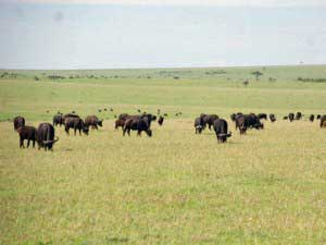 Büffelherde in der Masai Mara