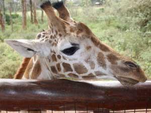 Auf Tuchfühlung mit den Giraffen im Giraffenzentrum in Nairobi