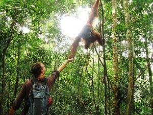 Reisender füttert Orang-Utan in Bukit Lawang auf Sumatra