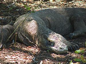 Komodowaran im Komodo Nationalpark