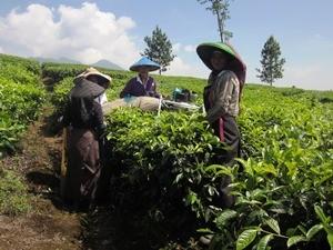 Arbeiter auf einer Teeplantage