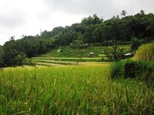 Reisterrassen auf dem Weg nach Kalibaru auf Java