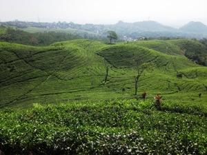 Wunderschöne Teeplantagen bei Bandung.