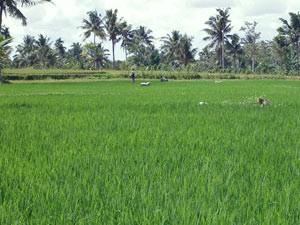 Reisfelder in Kalibaru