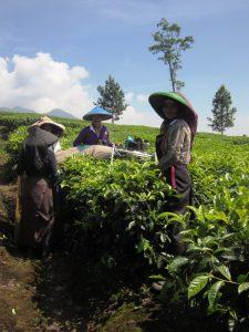 Einheimische Teepflueckerin mit Reisendem.
