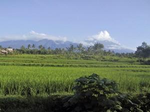 Grüne Reisfelder und der Rinjani Vulkan
