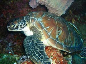 Meeresschildkröte beim Tauchen.