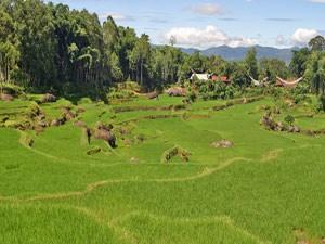 Grüne Reisfelder in Rantepao.