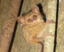 Koboldmakis im tropischen Regenwald