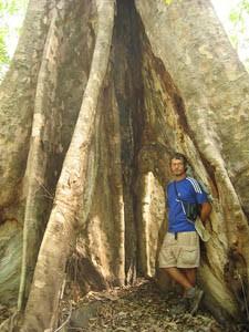 Rieser Baumstamm im Nationalpark von Tangkoko.