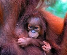 Orang Utans im Dschungel von Bukit Lawang