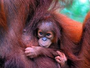 Baby-Orang-Utan in Bukit Lawang - Java, Bali und Sumatra