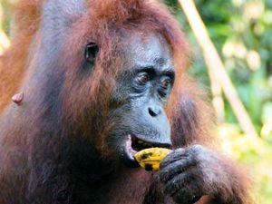 Orang Utans auf Kalimantan