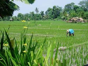Arbeiter auf dem Reisfeld