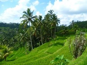 Grüne Reisterrassen in der Nähe von Ubud