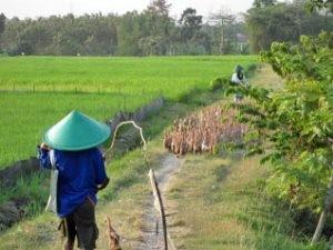 Arbeiter treibt die Enten auf die Reisfelder