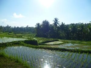 Grüne Reisterrassen in der Umgebung um Ubud