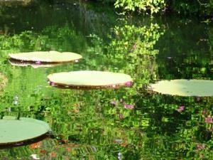 Seerosen im Teich am Wasserpalast