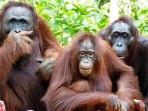 Orang-Utan-Familie Kalimantan