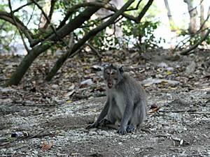 Affe am Wegesrand in Richtung Pemuteran