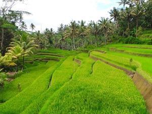 Grüne Reisterrassen in der Umgebung von Tirtagangga