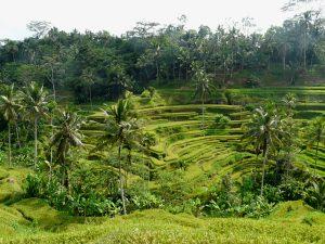 Grüne Reisterrassen bei Ubud
