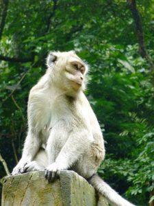 Ein Affe im Monkey Forrest in Ubud auf Bali.