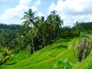 Die grünen Reisterrassen in Ubud auf Bali.