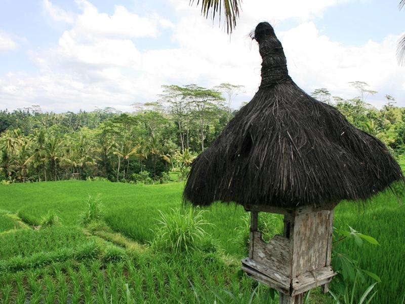 Die grünen Reisfelder in der Umgebung von Ubud.