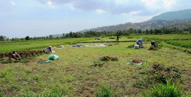Feldarbeiter bei Tetebatu