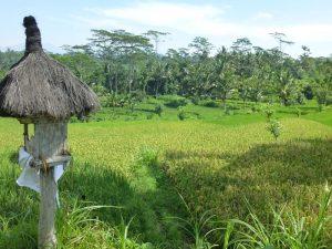 Grüne Reisfeldern in der Umgebung von Ubud auf Bali.
