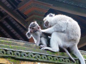 Affen in Ubud auf der Insel Bali.