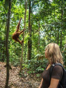 Reisende sieht ein Orang-Utan im Dschungel von Sumatra.